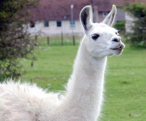Чим лами відрізняються від своїх родичів верблюдів?