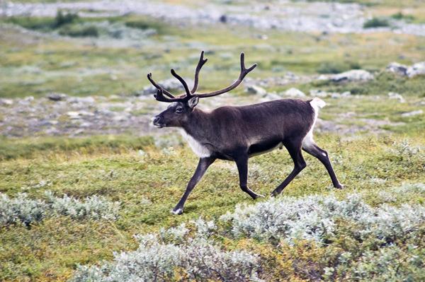 Чим північні олені відрізняються від інших оленів?