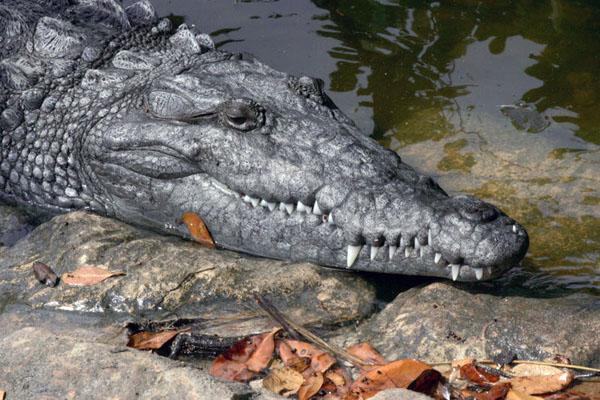 Чому крокодили плачуть? Цікаве про рептилії