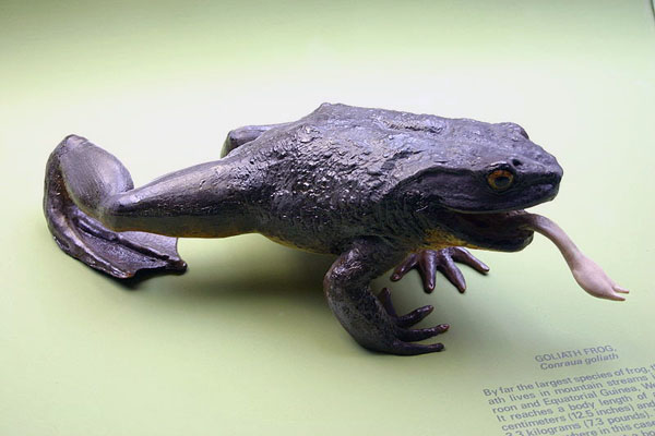 Якась жаба найбільша?