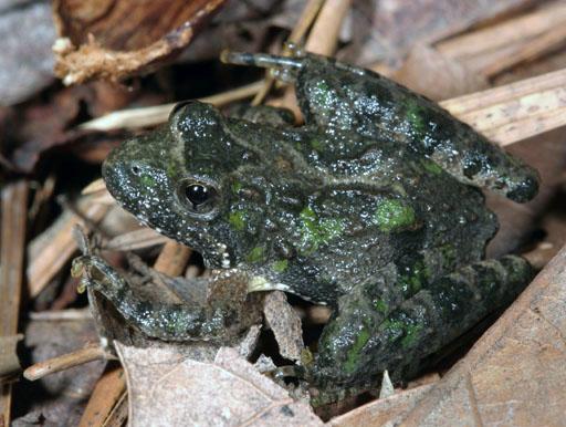 Як жаби квакають? Цікаво про земноводних