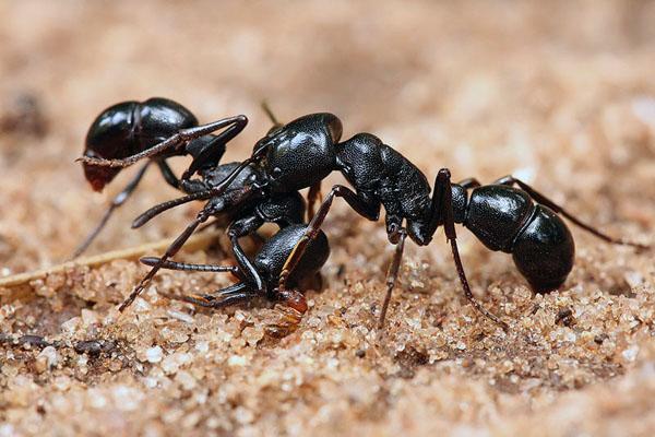 Для чого мурашки грабують сусідні мурашники?