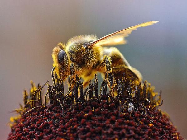 Як бджоли розподіляють обов'язки?