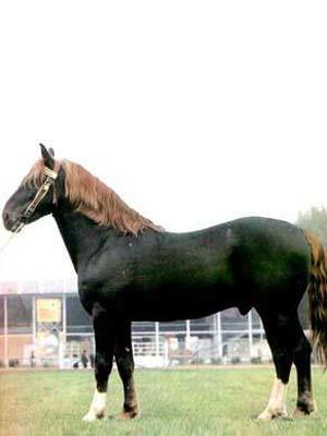 Коня упряжная кінь