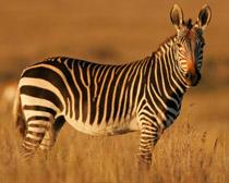 Зебра горная