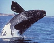 Североатлантический гладкий кит
