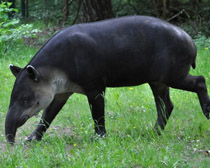 Тапир центральноамериканский