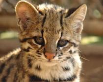 Тигровая кошка