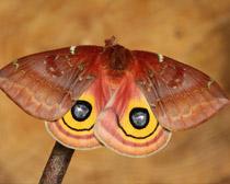 Бабочка ио