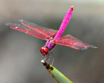 Стрекоза розовая