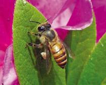 Пчела восковая