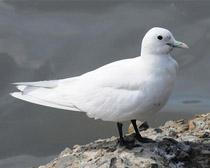 Чайка белая