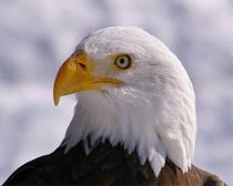 Орлан белоголовый