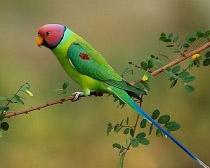Попугай кольчатый красноголовый