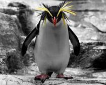 Золотоволосый пингвин