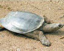 Черепаха дальневосточная