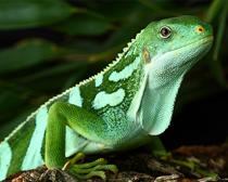 Игуана фиджийская полосатая