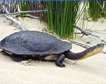 Змеиношейная черепаха