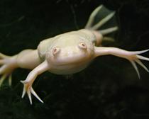 Лягушка шпорцевая гладкая