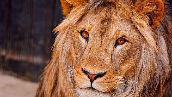 Фото черный лев в природе