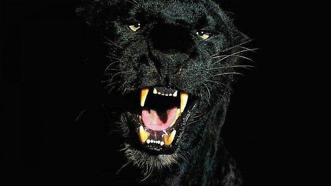 пантера фото