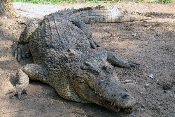 Для чого крокодили ковтають камені?
