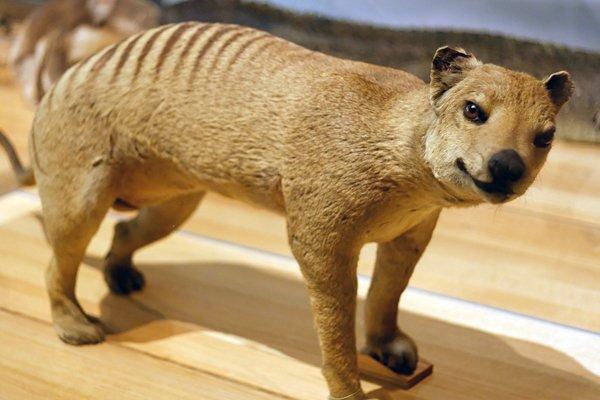 Чому вчені збираються клонувати тасманийского вовка?