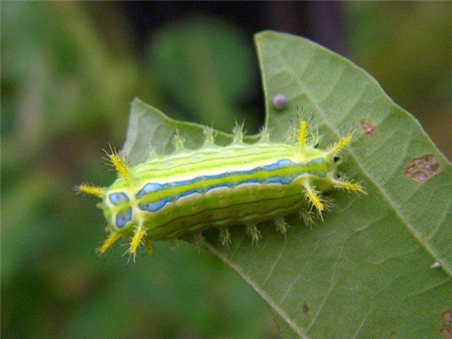 Выросты на теле гусеницы покрыты ядовитыми щетинками