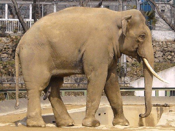 Слон індійський (Азіатський слон)
