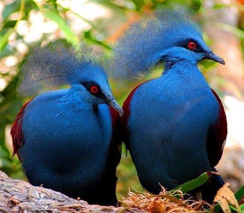 Голуб веероносный вінценосний. Всі птахів