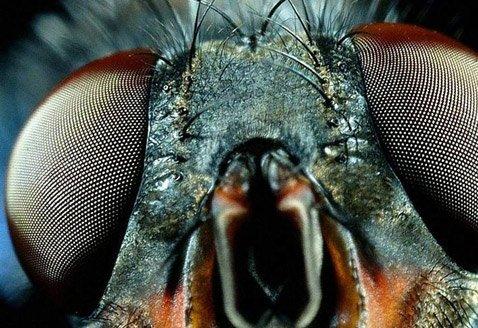 Сложные (фасеточные)глаза мухи