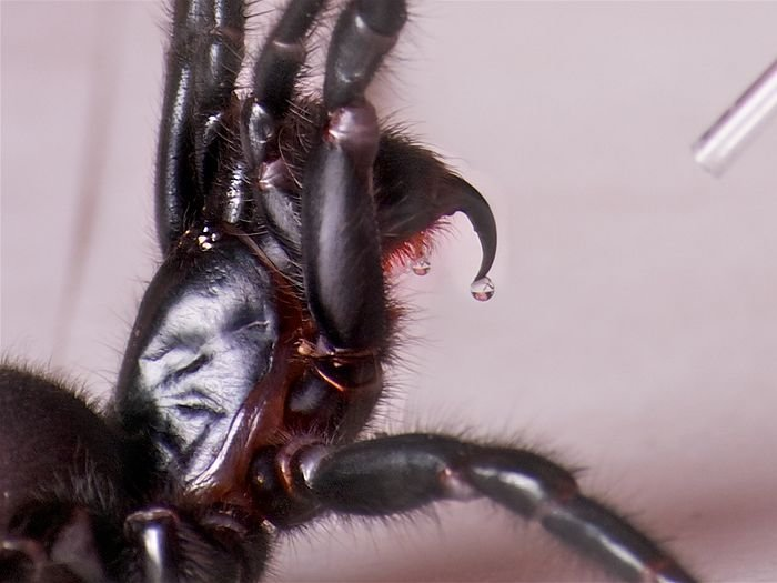 иднейский воронковый паук