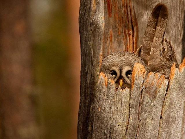 Серая неясыть охраняет свое гнездо