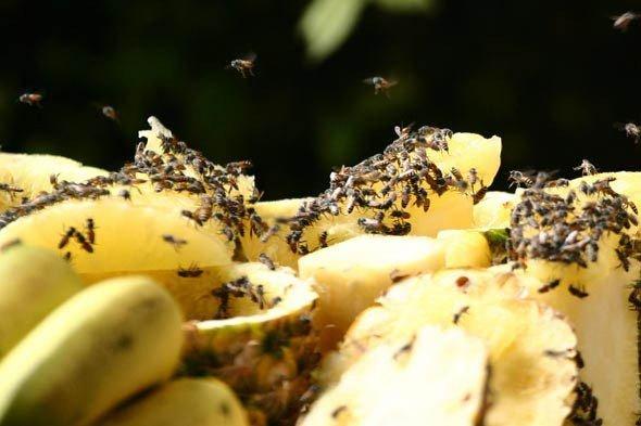 Плодовые мушки