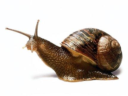 Равлик. Види молюсків