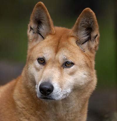 Звідки в Австралії з'явилася собака дінго?