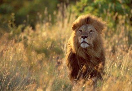 Лев (тварина)