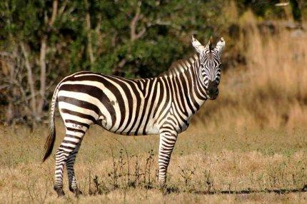 Зебра (тварина). Чому зебра смугаста?
