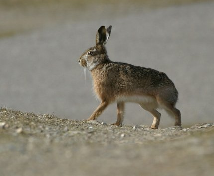 Може лисиця наздогнати зайця?