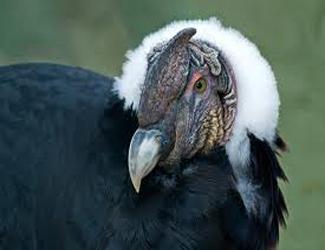 Андський кондор – різновид американських грифів.