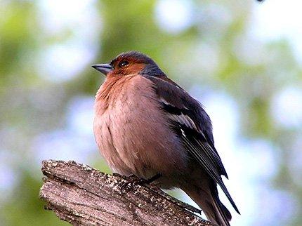 Чому птахи співають?