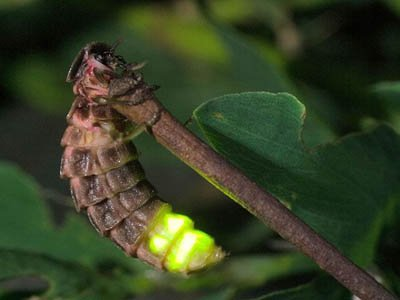 светляк самка