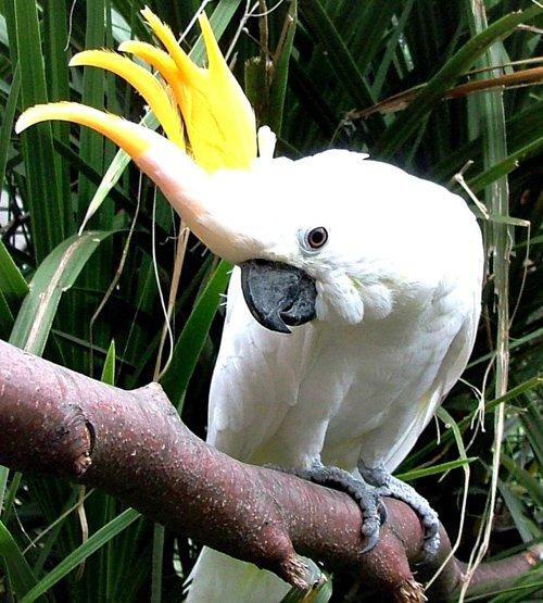 Какаду желтохохлый великий