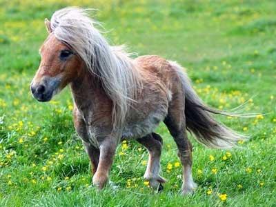 Ріст і вага коні. Найбільша і найменша кінь