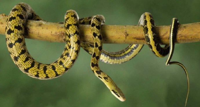 Полоз тонкохвостый (Elaphe taeniura)