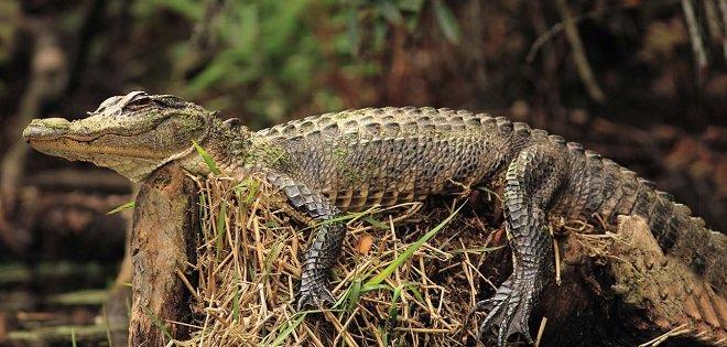 Аллигатор американский (Alligator mississippiensis)