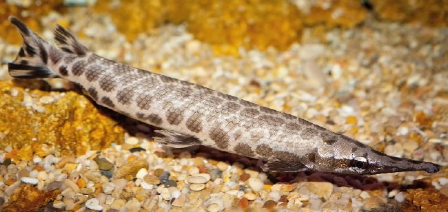 Щука панцирная (Lepisosteus oculatus)