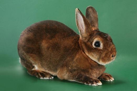Кролик-рекс