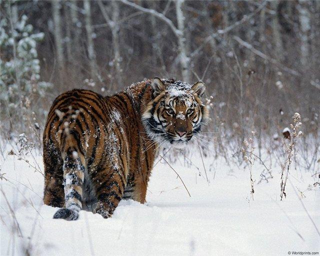 Амурський тигр (уссурійський тигр)