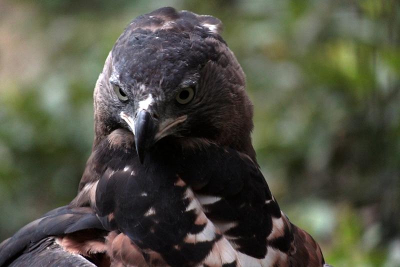 Венценосный орёл